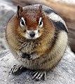 Golden mantled ground squirrel Moraine Lake 2014.jpg