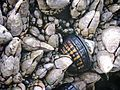 Gooseneck Barnacles, Yaquina Head Outstanding Natural Area (March 2007), 02.jpg