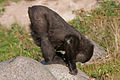 Gorilla doing yoga (3956066921).jpg