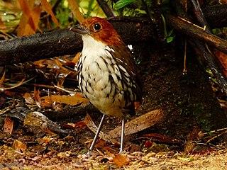 Antpitta family of birds