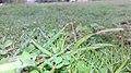 Grass in Pakistan (n32).jpg
