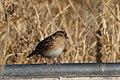 Grasshopper Sparrow (fall plumage) Curly Horse Ranch Rd Sonoita AZ 2017-12-16 09-28-24-2 (39118811811).jpg