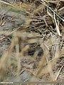 Grasshopper Warbler (Locustella naevia) (44761269740).jpg