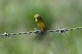 Grassland Yellow-finch (Sicalis luteola) (4089369507).jpg