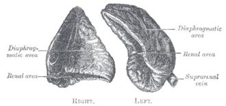 Suprarenal veins - Image: Gray 1184