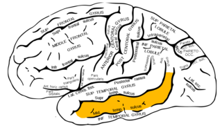 file:gray726 middle temporal gyrus - wikimedia commons, Human Body