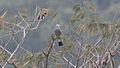 Gray Silky-Flycatcher (Ptilogonys cinereus) (5783738606).jpg
