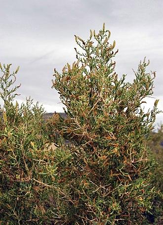 Sarcobatus - Close-up of greasewood, Sarcobatus vermiculatus