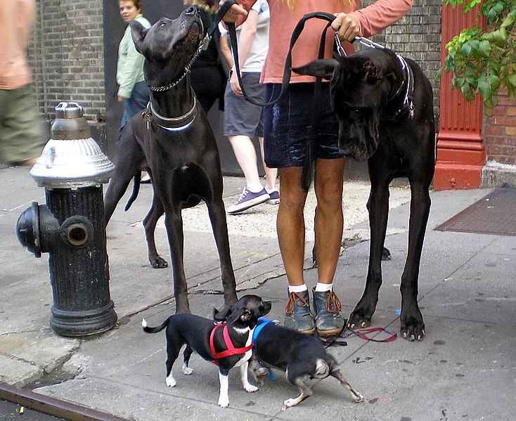 Fichier:Great Danes and Chihuahuas by David Shankbone.jpg