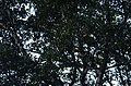 Great Hornbills from Anamalai Tiger Reserve JEG1741.JPG