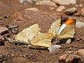 Great orange tip Mudpuddling from Melagiri TN IMG 6455.jpg