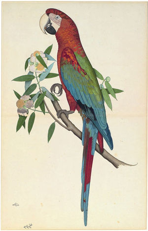 Company style - A Green-Winged Macaw, folio, 89.5 x 56.8 cm., from Mary Impey's album of natural history paintings, Attributed by inscription to Shaikh Zain al-Din, Calcutta, about 1780, opaque watercolor on paper.