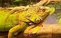 Green Iguana (3325893792).jpg