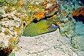 Green Moray (Gymnothorax funebris) (36296310840).jpg
