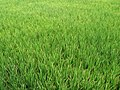 Green Paddy Field.jpg