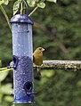 Greenfinch 2 (3729945144).jpg