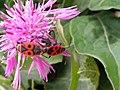 Grenchen - Mating Pyrrhocoris apterus.jpg