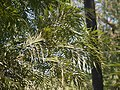 Grevillea robusta (4611169896).jpg