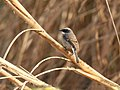 Grey Bushchat (Saxicola ferreus) (27859688579).jpg