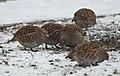 Grey partridge (40403938513).jpg