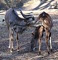 Grosser Kudu Tragelaphus strepsiceros Tierpark Hellabrunn-23.jpg