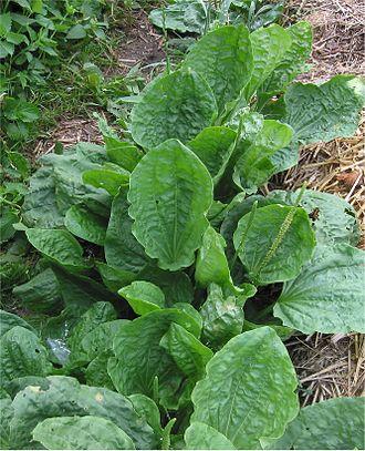 Garden tiger moth - Image: Grote weegbree Plantago major subsp. major