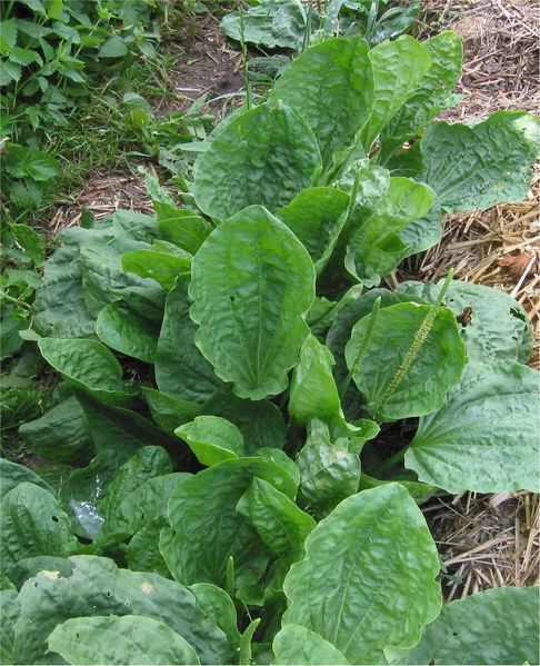 Fichier:Grote weegbree Plantago major subsp. major.jpg