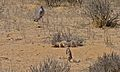 Ground Squirrels (Xerus inauris) and Southern Pale Chanting Goshawk (Melierax canorus) (6537731787).jpg