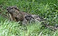 Groundhog (40886079893).jpg