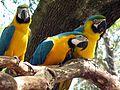 Gypsy Gold Farm, Ocala, FL, Macaws 2.jpg