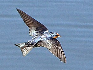 Pacific swallow - Image: H tahitica