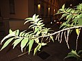 HK 上環 Sheung Wan night green plants 般咸道 Bonham Road November 2017 IX1 t02 05.jpg