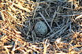 Haematopus ostralegus -Dornoch -Scotland -nest and egg-8.jpg