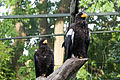 Haliaeetus pelagicus -Edinburgh Zoo, Scotland-8.jpg