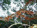 Halleria lucida, oranje newevorm, Iphithi NR, d.jpg