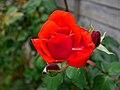 Happy red rose (37225026906).jpg