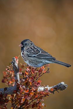 Harris's Sparrow (14u0779 std).jpg