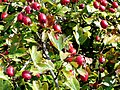 Hawthorn fruits, Cretaegus monogyna - geograph.org.uk - 1481464.jpg