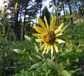 Helianthella uniflora var. douglasii at Squilchuck State Park Chelan County Washington 1.png
