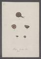 Helix lucida - - Print - Iconographia Zoologica - Special Collections University of Amsterdam - UBAINV0274 089 01 0039.tif