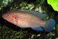 Hemichromis lifalili (aquarium)3.jpg