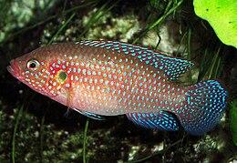 Hemichromis lifalili (aquarium)3