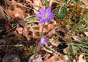 Description de l'image  Image:Hepatica nobilis fleurs20.03.2005.2.JPG .