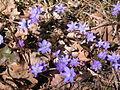 Hepatica nobilis in Ruissalo.jpg