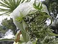 Heracleum mantegazzianum R.H. 13.jpg