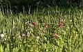 Hibiscus moscheutos in the wetlands 1.jpg