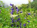 Himalayan Bell Flower.jpg