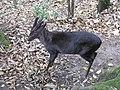 Himalayan Zoo, Darjeeling (7353934598).jpg