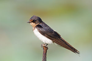 White-eyed river martin - The numbers of barn swallows at Bueng Boraphet, which the martin accompanied to roost, are greatly reduced.