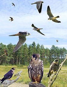 Hobby from the Crossley ID Guide Britain and Ireland.jpg